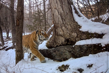 Camera trap-1, (c) ZSL, Zov Tigra National Park_small