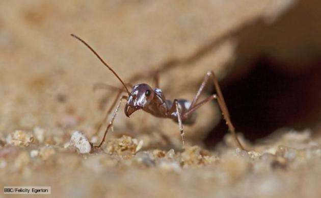 African Astronaut Ants? BBC Africa with Sir David Attenborough