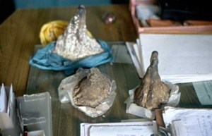 Rhino horn - Image provided by Care for the Wild.